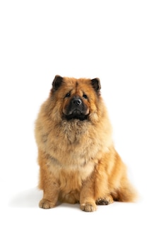 Portrait of cute chow chow dog sitting on the floor