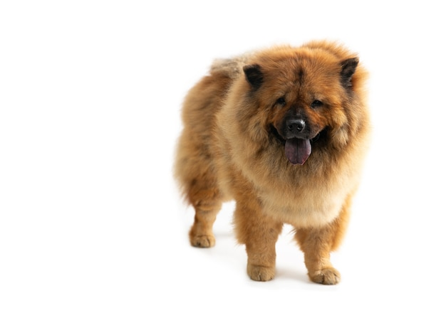 Portrait of cute chow chow dog with tongue sticking out isolated on white