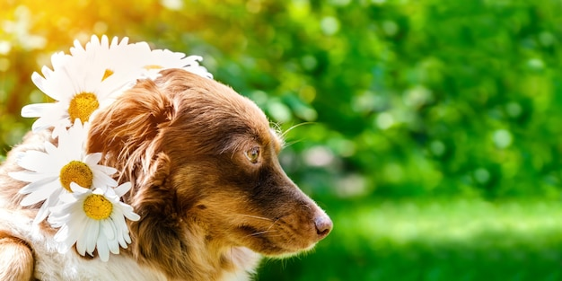 Portrait of a cute dog in a crown of daisies on the background of nature. spring or summer concept, closeup view, copy space
