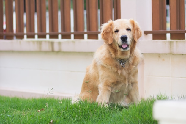 Portrait of cute dog golden retriver on the lawn
