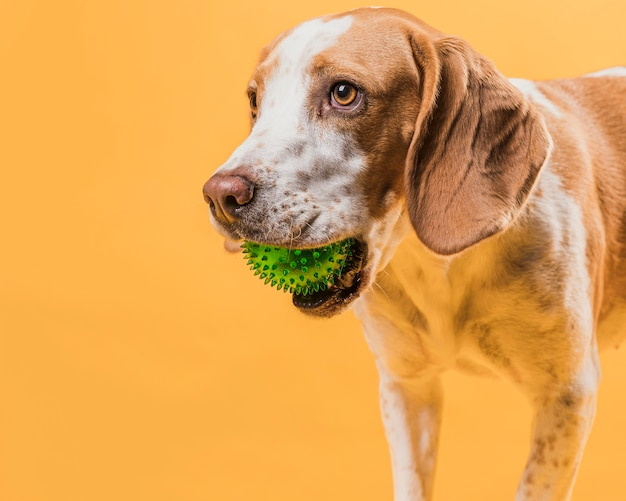 Portrait of cute dog holding a rubber ball