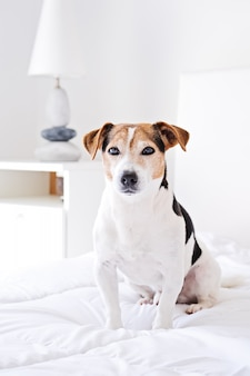 Portrait of cute dog siting on bed and looking at camera on white duvet