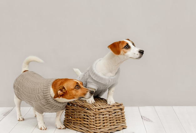 Portrait of cute dogs in knitted blouses, studio photo of jack russell puppy and his mom. friendship, love, family.