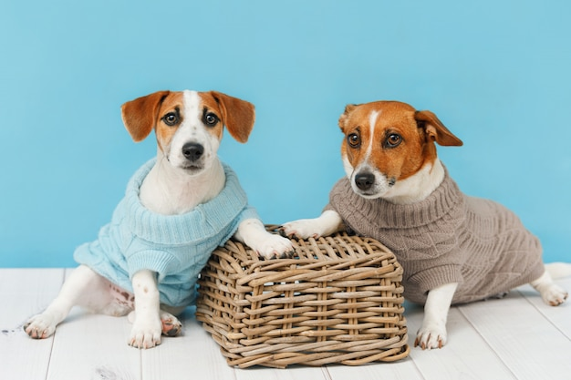 Portrait of cute dogs in knitted blouses, studio photo of jack russell puppy and his mom.
