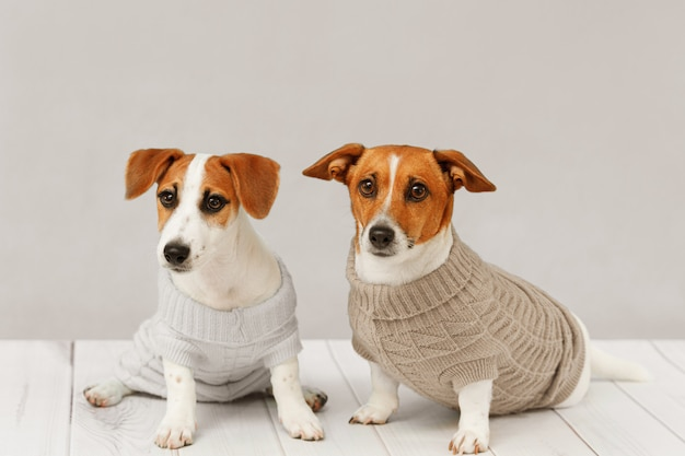 Portrait of cute dogs in knitted blouses