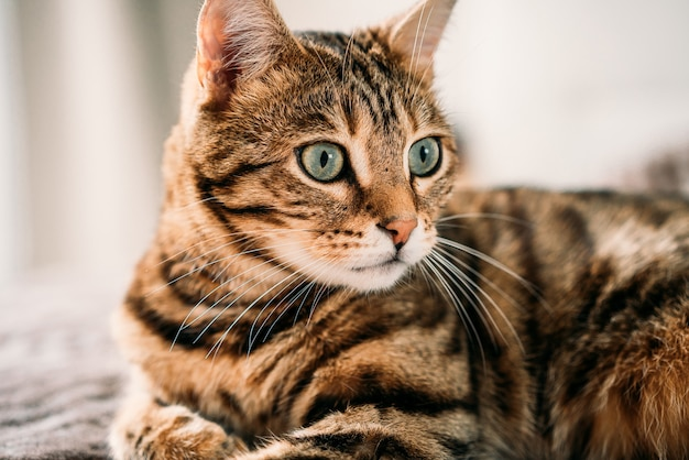 Portrait of a cute domestic bengal cat in a house on a blurry wall