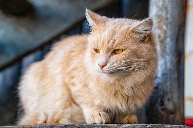 Portrait of a cute fluffy cat on the street