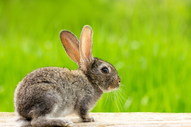 Portrait of a cute fluffy gray rabbit with ears on a natural green grass