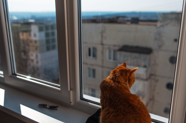 Portrait of cute fluffy red and white cat, looking at the view from the window.