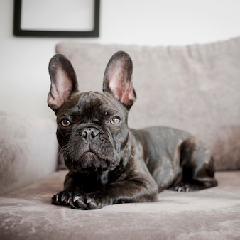 Portrait of cute french bulldog