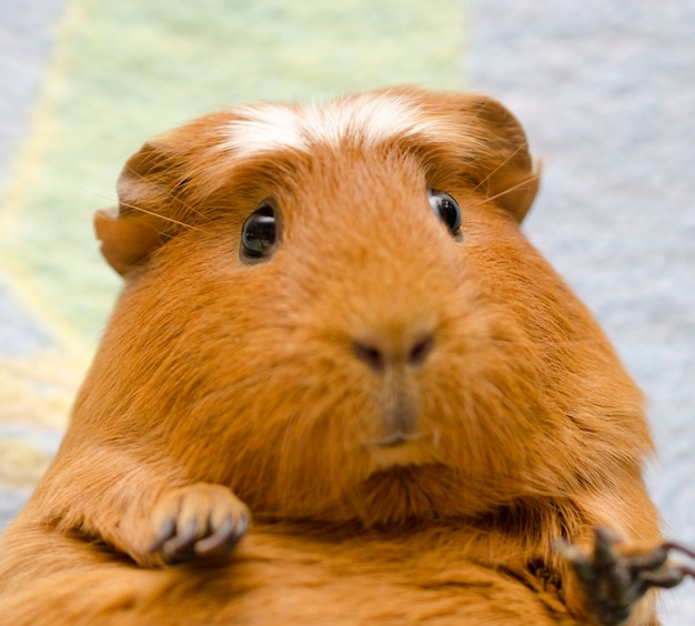Portrait of a cute funny guinea pig (selective focus on the guinea pig eyes)