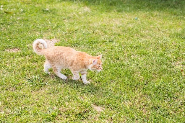 Portrait of a cute ginger cat walking in a sunny green meadow on a warm summer evening