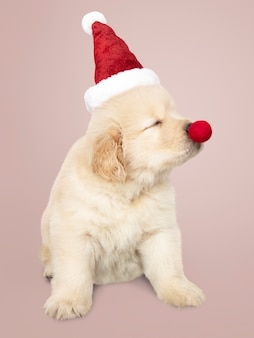 Portrait of a cute golden retriever puppy wearing a santa hat