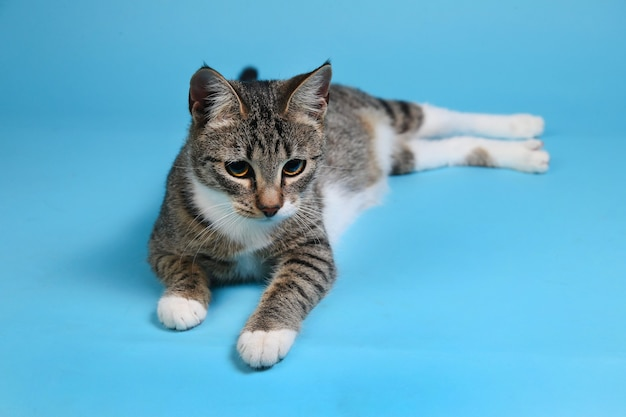 Portrait of a cute gray and white striped kitten lying on blue