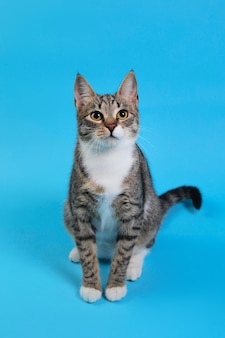 Portrait of a cute gray and white striped kitten sitting on blue