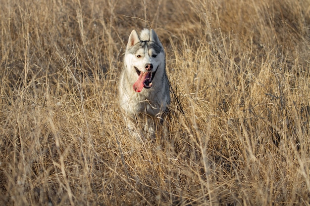 Portrait of cute and happy dog breed siberian husky with tongue hanging out running in the bright yellow autumn forest. cute grey and white husky dog in the golden fall forest