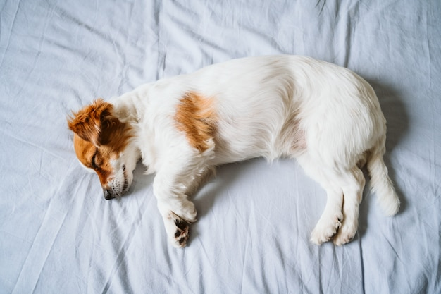 Portrait of cute jack russell dog at home sleeping on bed.