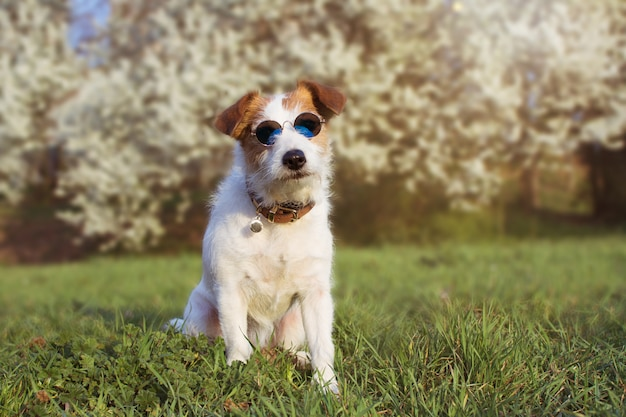 Portrait cute jack russell dog wearing summer glasses