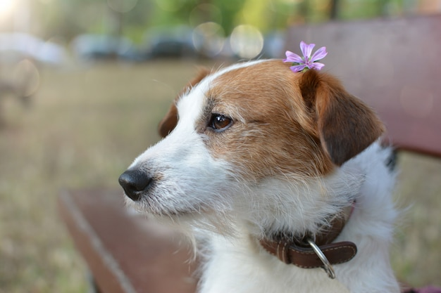 Portrait of a cute jack russell puppy sitting on a wooden bench on a park