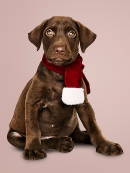 Portrait of a cute labrador retriever wearing a christmas scarf