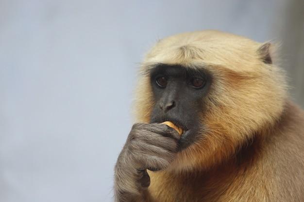 Portrait of a cute langur eating a pancake