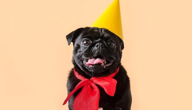 帽子と誕生日の衣装を着ている肖像画かわいい小さな黒いパグ犬