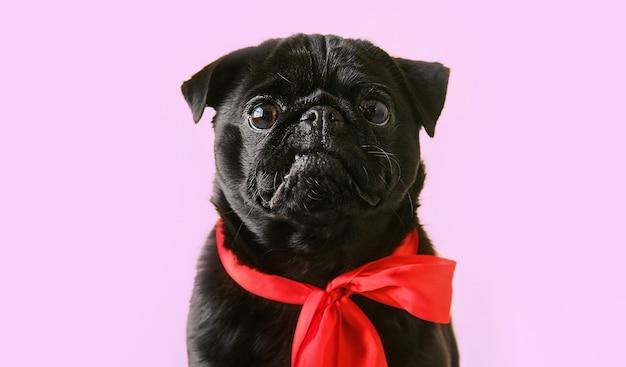 Портрет милый маленький черный мопс в красном банте на фоне студии