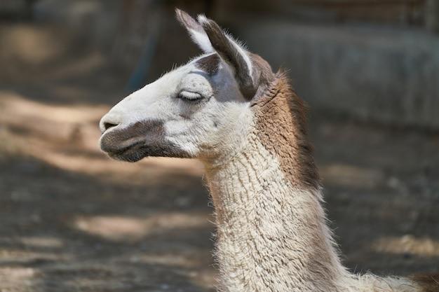 Portrait of cute llama on farm
