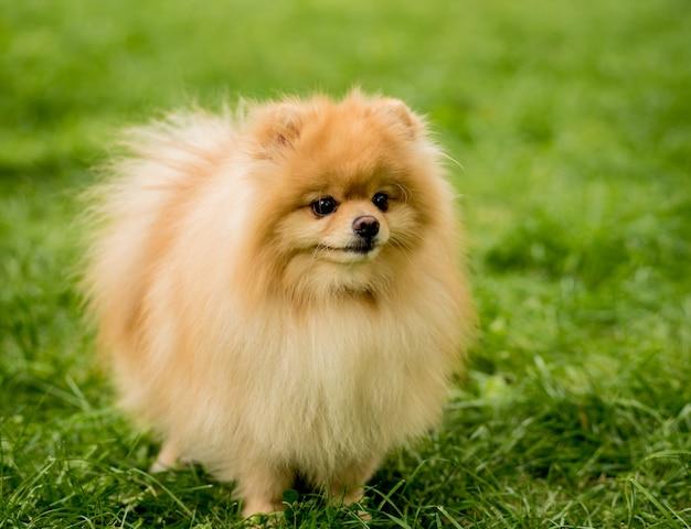 Portrait of cute pomeranian dog at the park