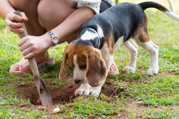 Portrait of cute puppy beagle standing on the lawn