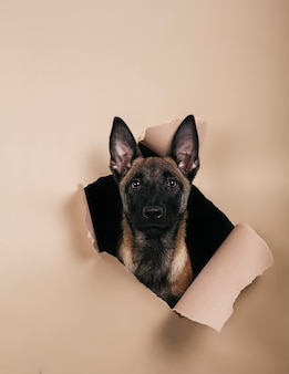 Portrait of cute puppy of breed malinois comes out of a hole on colored background.free space for text. vertical picture
