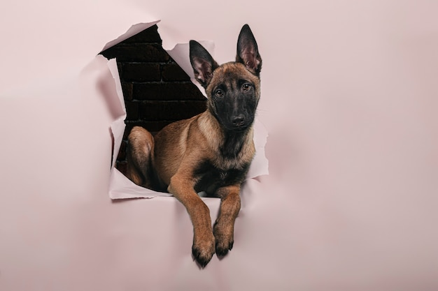 Portrait of cute puppy of breed malinois comes out of a hole in the paper wall .free space for text.