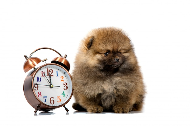 Portrait of a cute puppy with a clock, closeup, isolated