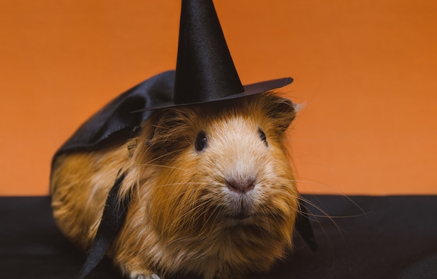Portrait of cute red guinea pig in halloween costume.