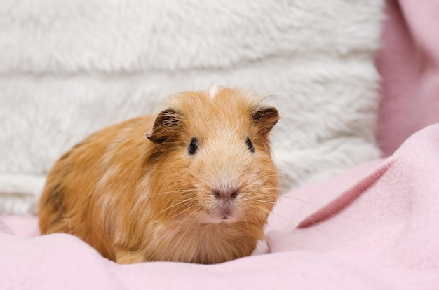 Portrait of cute red guinea pig.