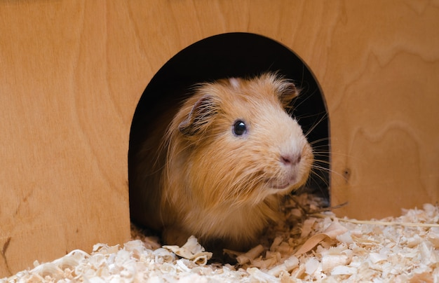 Portrait of cute red guinea pig