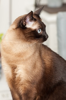 Portrait of a cute siamese breed cat with beautiful blue eyes.