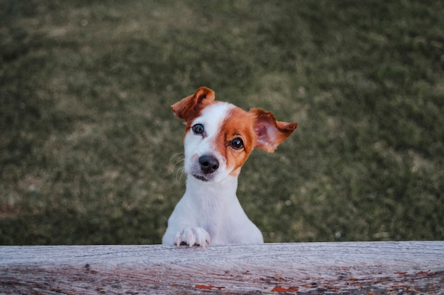Portrait of cute small jack russell terrier standing on two paws on the grass in a park