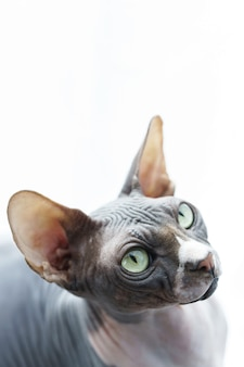 Portrait of cute and smart canadian sphynx cat
