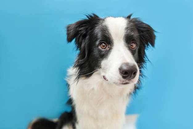 Portrait of cute smiling border collie isolated on blue background