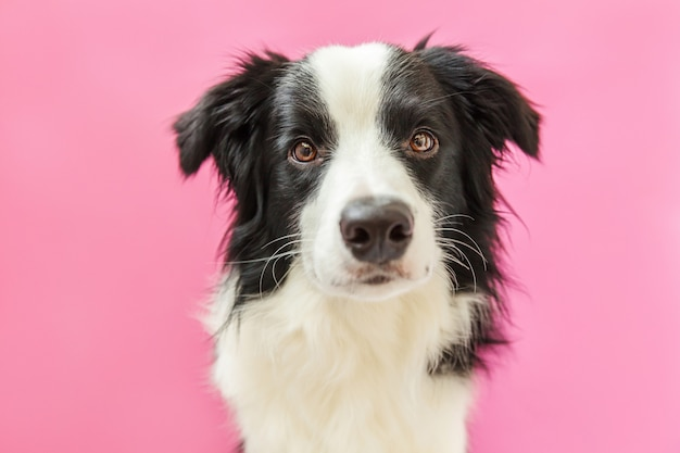 Portrait of cute smiling border collie isolated on pink background