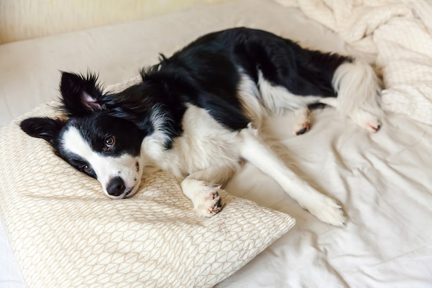 Portrait of cute smiling puppy dog border collie lay on pillow blanket in bed. do not disturb me let me sleep. little dog at home lying and sleeping. pet care and funny pets animals life concept.