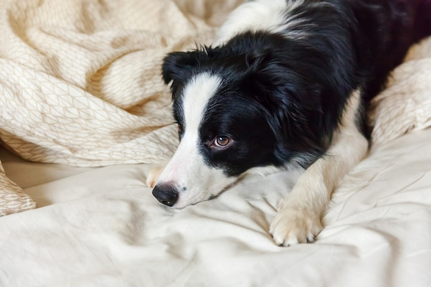 Portrait of cute smilling puppy dog border collie lay on pillow blanket in bed. do not disturb me let me sleep. little dog at home lying and sleeping. pet care and funny pets animals life concept.