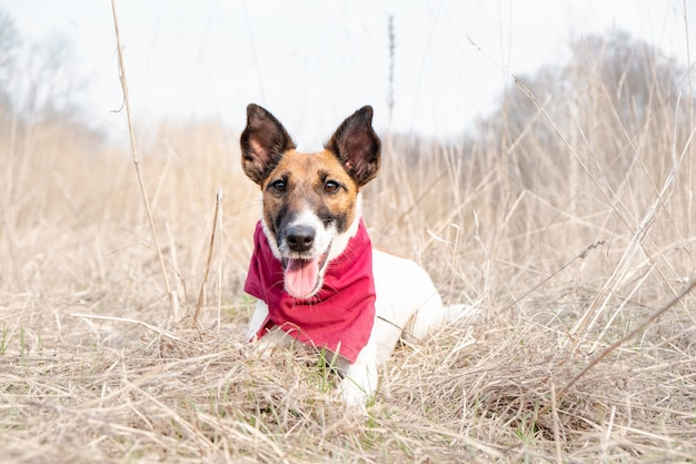 Portrait of a cute smooth fox terrier. happy smiling puppy in bandana enjoys time laying on the grass on a beautiful spring day