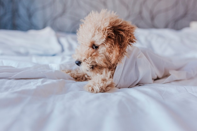 Portrait of a cute toy poodle standing on bed and looking at the camera, daytime, indoors.