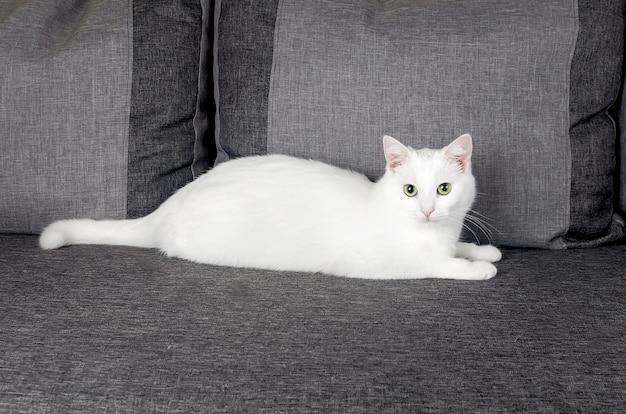 Portrait of cute turkish angora cat