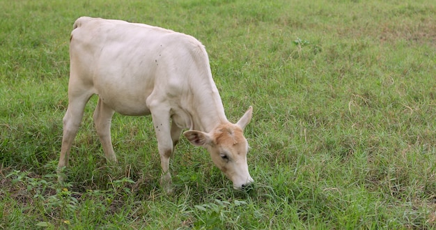 Portrait of a cute white calf peacefully eating grass on lush pasture of green grass