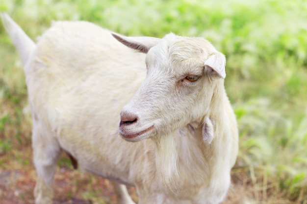 Portrait of cute white goat on background of blurry grass.