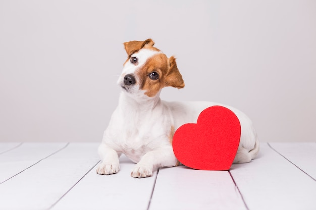 Portrait of a cute young small dog sitting on the floor . red heart next to him.