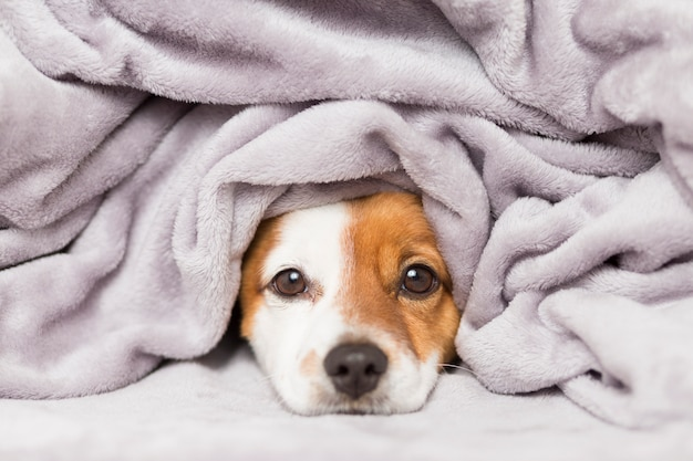 Portrait of a cute young small dog with a grey blanket covering him